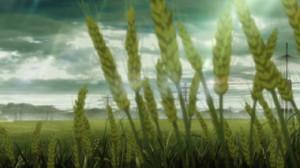 遺伝子組み換え麦